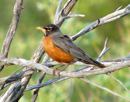 american-robin.jpg