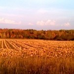 fall-benzie-corn-2011-5-300