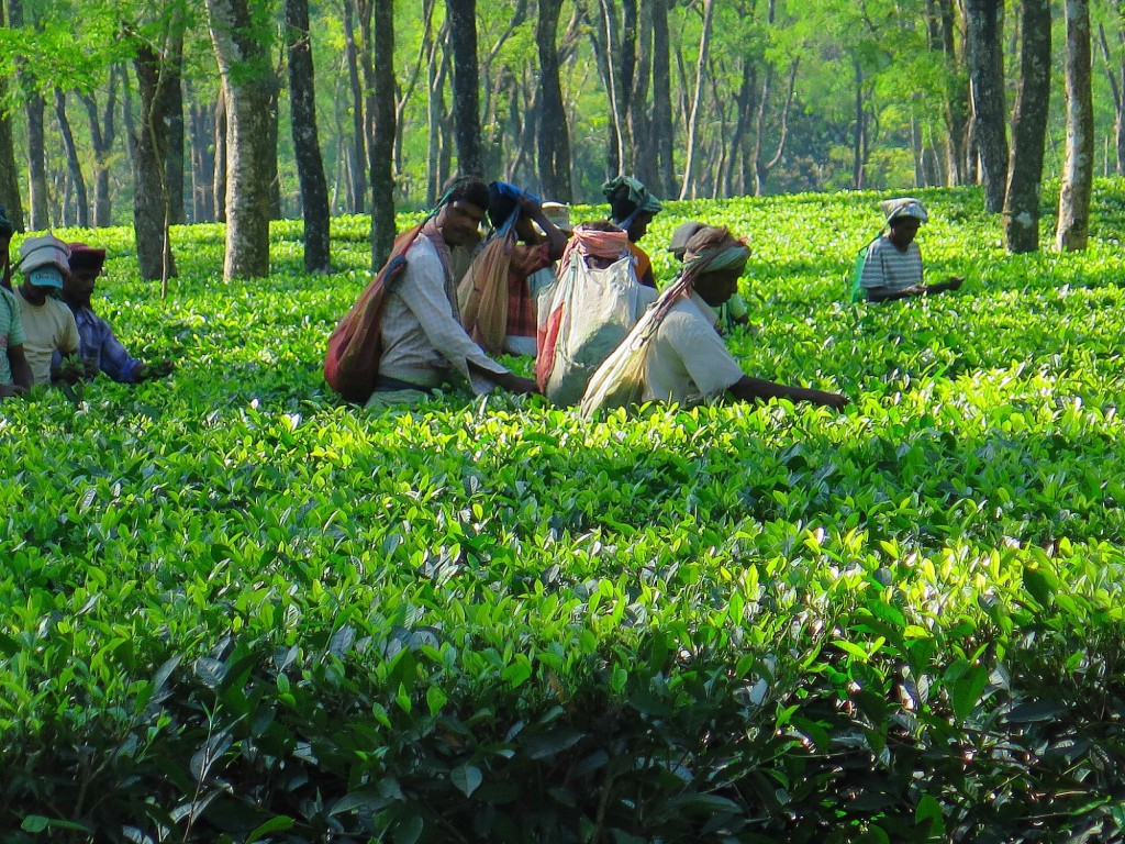 Much of the world's tea is raised in northeast India. Workers pick tea leaves in a tea garden in Assam. Photo/Keith Schneider