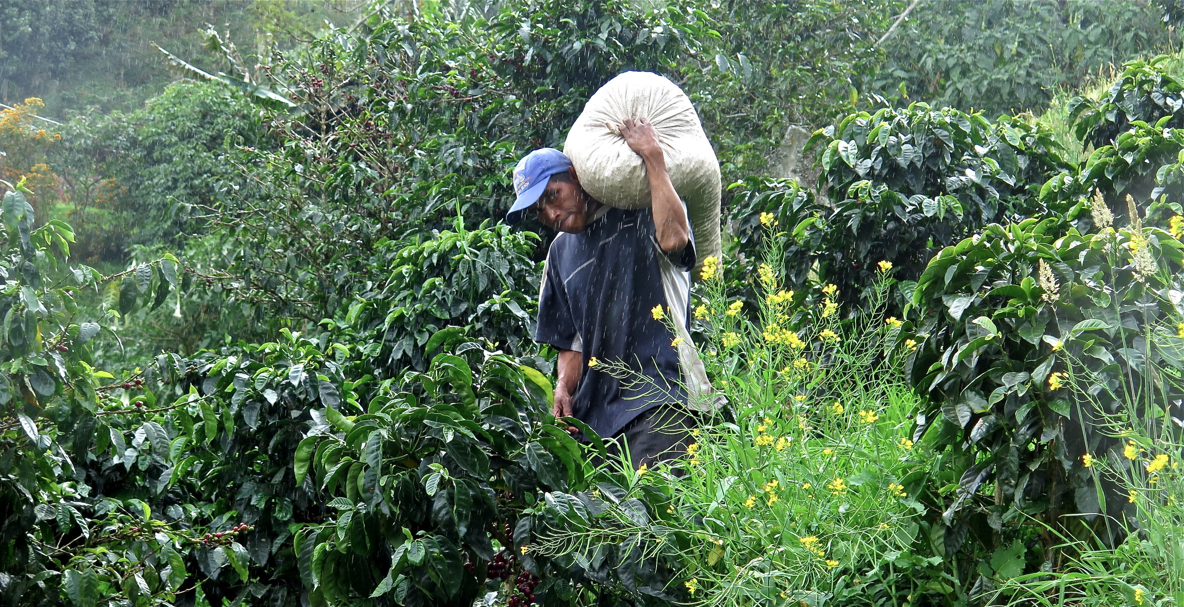 In a light rain, a worker shoulders a sack of harvested beans to be weighed. Photo/Keith Schneider